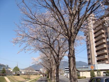 sakura1_110405.jpg