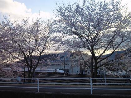 新幹線と桜